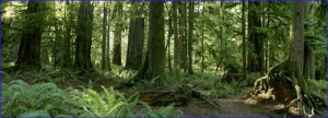 cathedral_grove_panorama_800x289